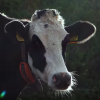 AI Good Practice: Keeping farmers happy and cows healthy